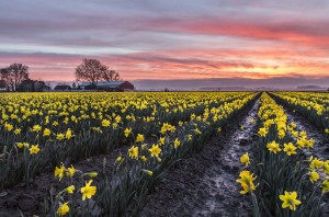 Sunrise with Daffodils