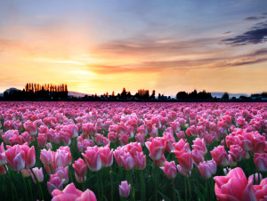 Pink Tulips at Sunset