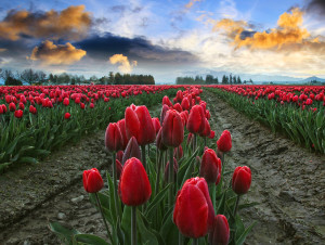 Red Tulips in the Morning