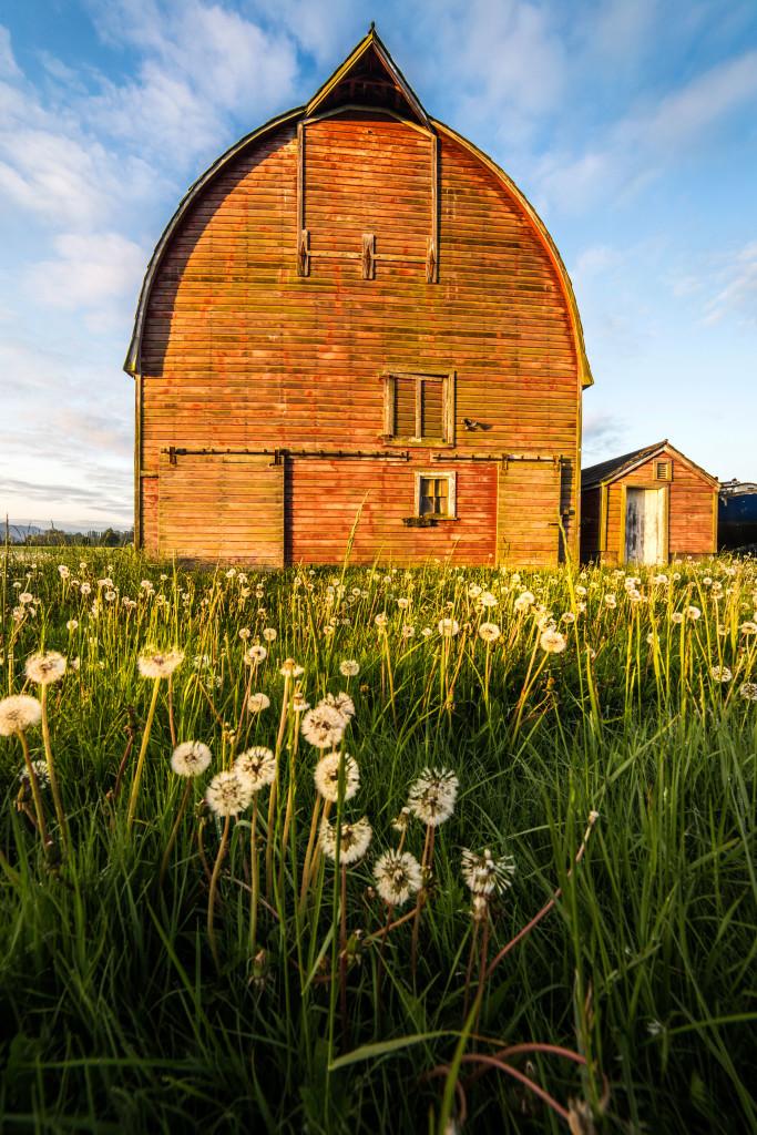 Dandelions and Barn
