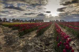 Harvesting Tulips at Sunrise