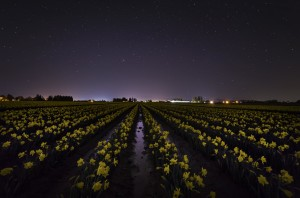 Skagit Valley Daffodils under a starry sky, February, 2015