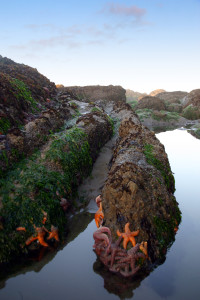 Olympic_Coast_Starfish