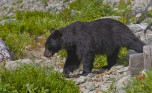 andyporter_, North Cascades National Park Bear3